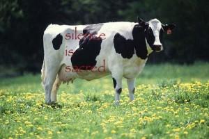silence sacred cow